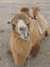 Furry's Camel's Friend