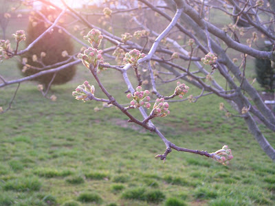 Bradford pear tree buds