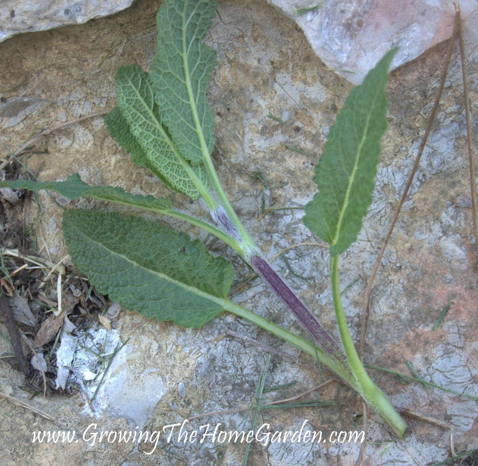 How To Propagate Salvia From Cuttings