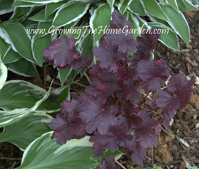 Heuchera - Midnight Rose