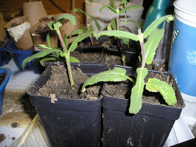 propagated salvia from cuttings