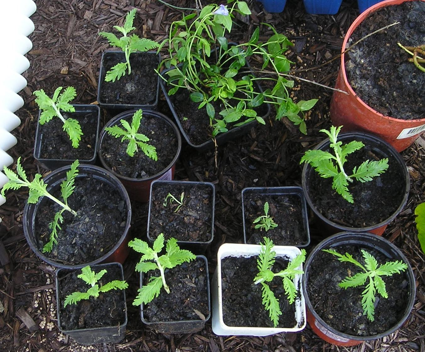 [2008+Russian+Sage+Cuttings+002.jpg]