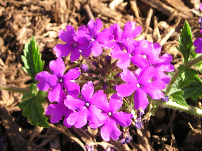 What S Not To Like About Homestead Purple Verbena Growing The Home Garden