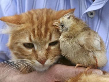 http://bp3.blogger.com/_OzvcrAhJAh8/RlTKBGYhjYI/AAAAAAAAACE/RtZhGuAsfAE/s400/cat-chicken1.jpg