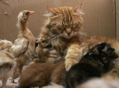 http://bp3.blogger.com/_OzvcrAhJAh8/RlTKLGYhjZI/AAAAAAAAACM/unLgfltyquo/s400/cat-chicken2.jpg