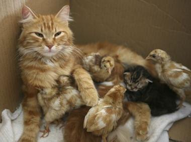 http://bp0.blogger.com/_OzvcrAhJAh8/RlTKUWYhjaI/AAAAAAAAACU/eHvpYC7VOS0/s400/cat-chicken3.jpg