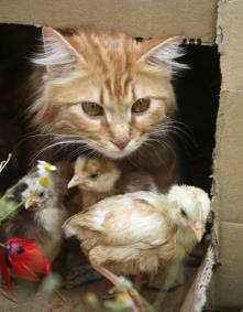 http://bp0.blogger.com/_OzvcrAhJAh8/RlTKZWYhjbI/AAAAAAAAACc/hBPPRNdwnLY/s400/cat-chicken4.jpg
