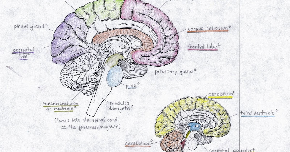 human-anatomy: Test #4 colored & labeled brain diagram