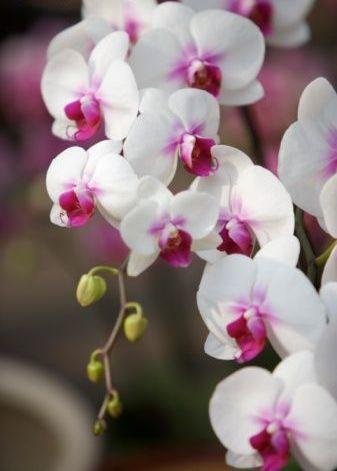 74cabd86d ... recebendo os respingos da água salgada do mar (o jardineiro que era  encarregado de cuidar da coleção de orquídeas do Jardim Botânico da  Inglaterra ...