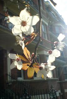 Blossom Maida Vale