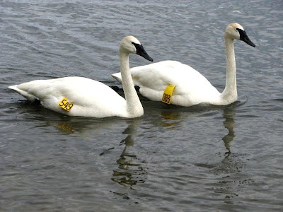 trumpeter swan ontario. find Trumpeter Swans for
