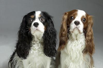 Quakertown Pa Cavalier King Charles Spaniel Tibetan Spaniel Mix Meet Tammy A Dog For Adoption Http Www Adoptapet Com Pet 11193177 Quakertown Pen Animales