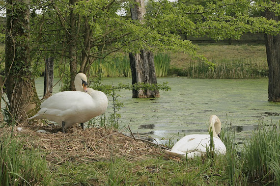 Swans and nest