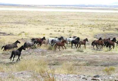 Manada de Mustangs