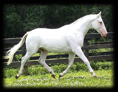Caballo blanco puro