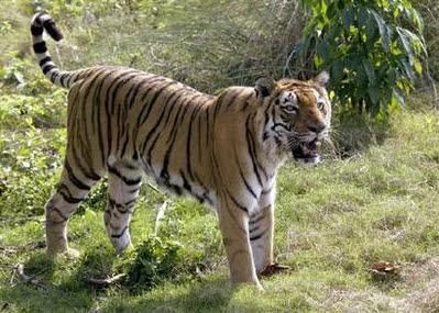 Life...as I see it: Bengal Tiger Habitat Destruction