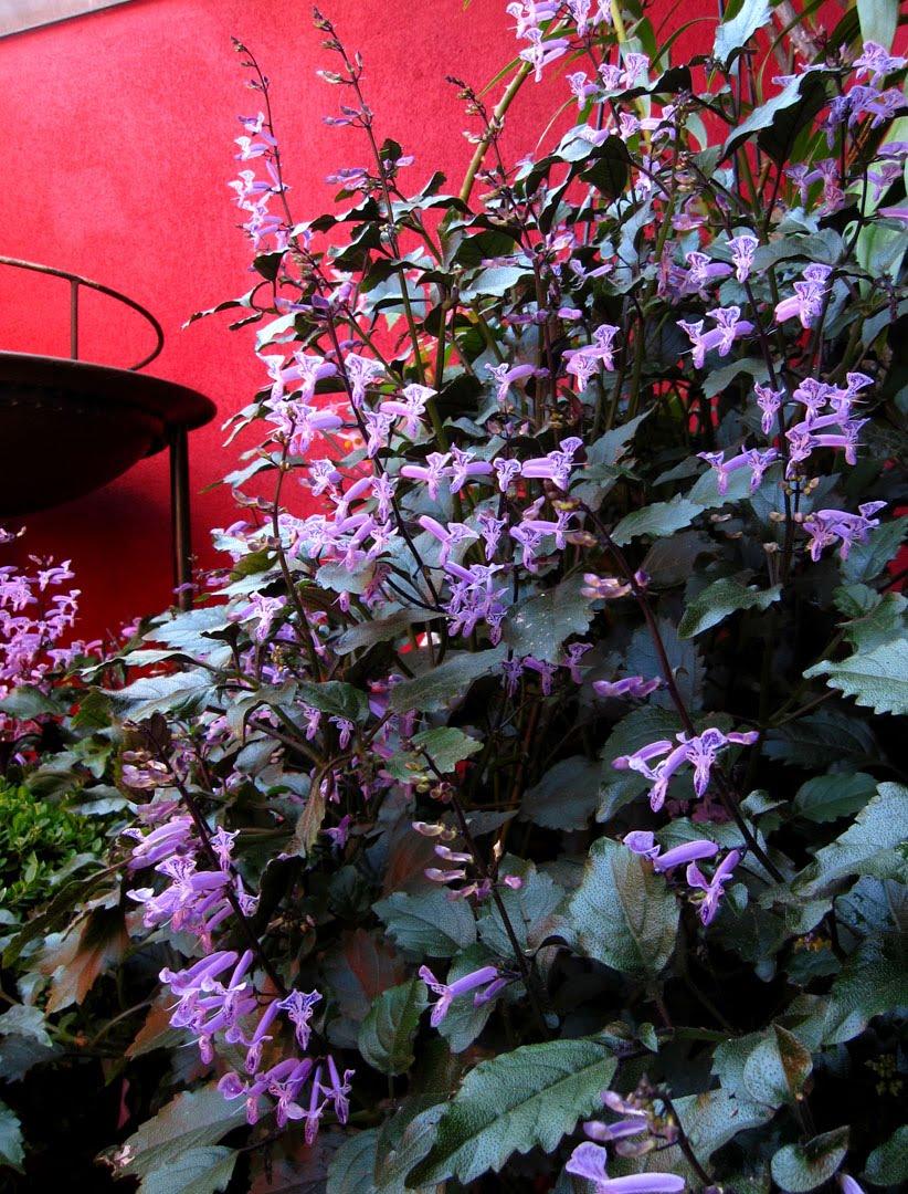 66 Square Feet Plus Plectranthus Mona Lavender