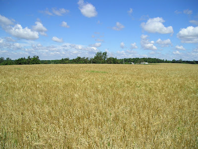 Oats and barley for animal feed grow together