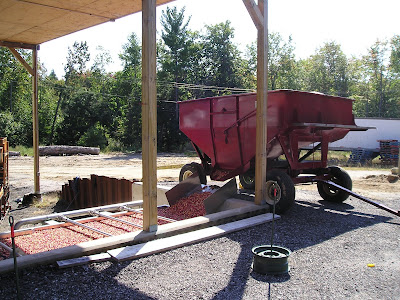 The start of the cranberry sorting process