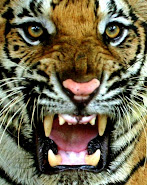 Some Rabbis may not seem as scary as this tiger