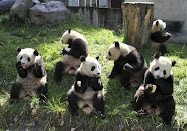 pandas eat food at the China Wolong Giant Panda Protection and Research Center