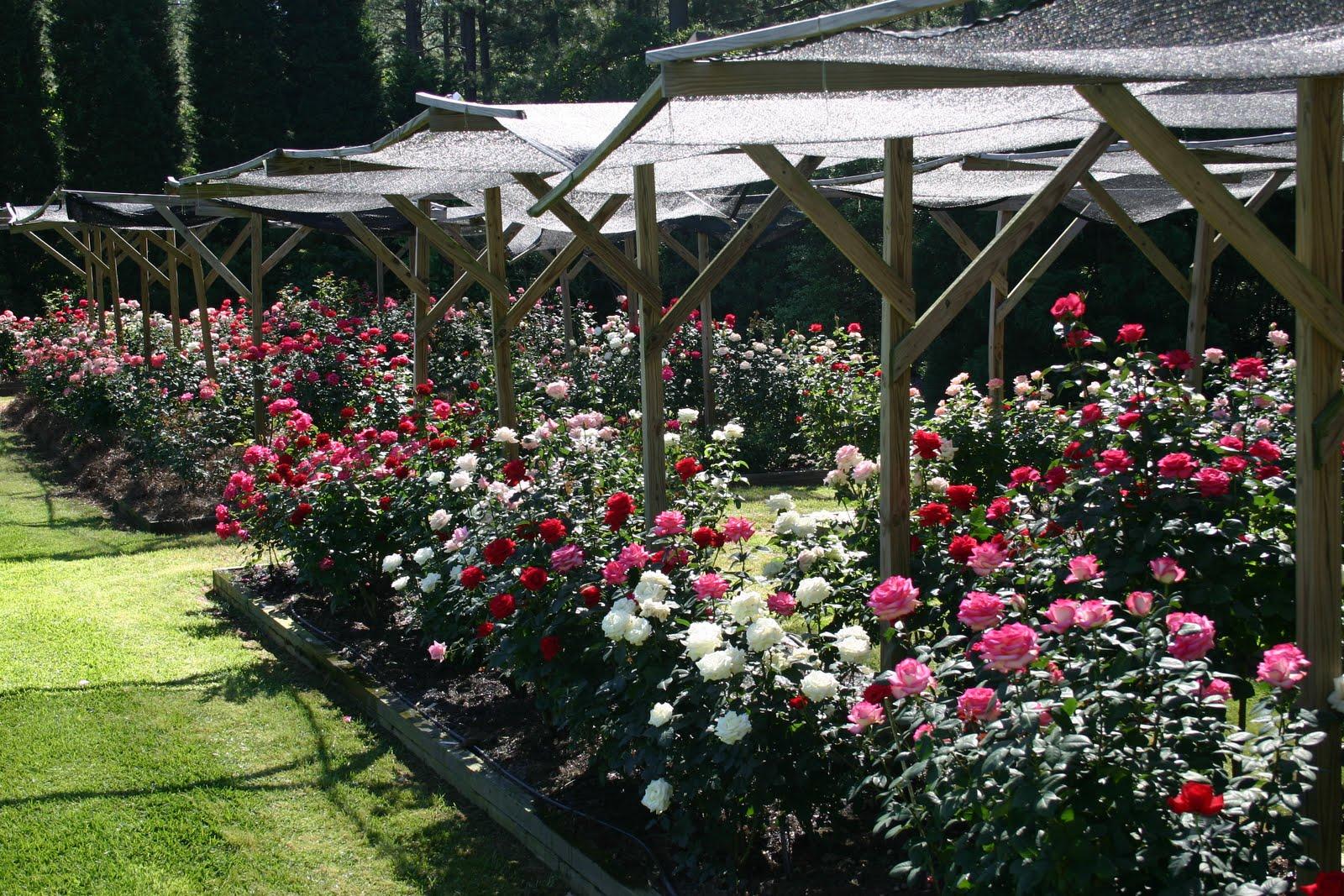 Grow Roses With Satish Prabhu