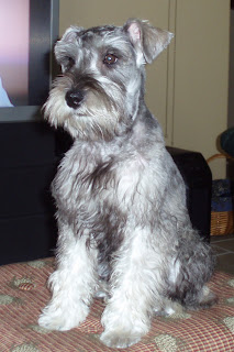 Just the Two of Us: Peyton's First Schnauzer Haircut
