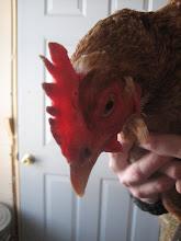 chicken says: