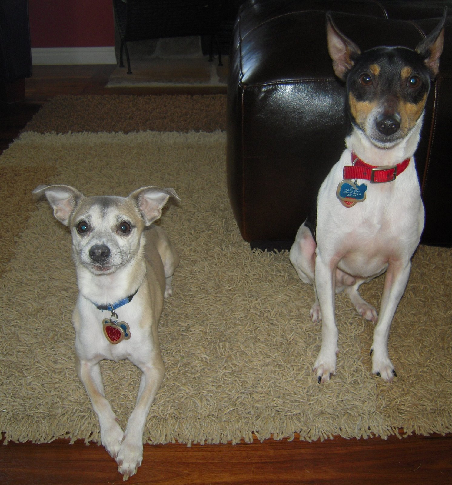 greyhound terrier mix rat terrier italian greyhound mix 5445