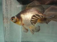 Healthy Goldfish in a Biorb