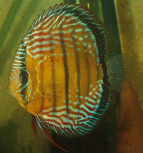 Articulos for Manual de peces ornamentales