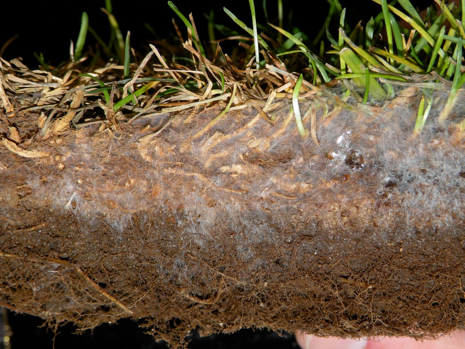 Turfgrass Disease Updates For Golf Courses July 2010