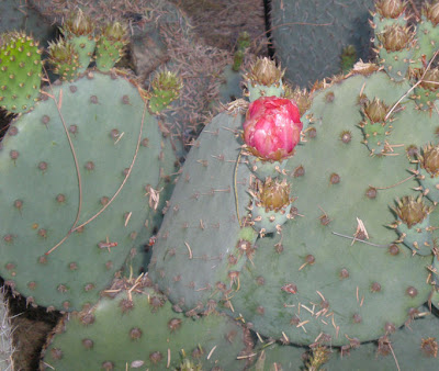 Opuntia cactus, photo by Rosemary West © 2009