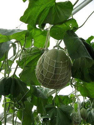 How to grow melons in a greenhouse
