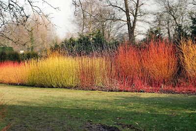 mix of autumn stem colours on cornus species and cultivars in border