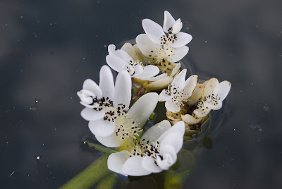 white flowering pond plant