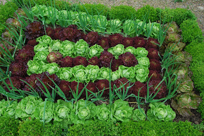 purple and green ornamental lettuce grown in the ground