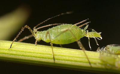 green aphid on a leaf stem