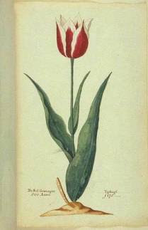 botanical illustration of Tulip 'Lac van Rijn'