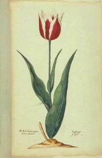 botanical illustration of Tulip 'Lac van Rijn'
