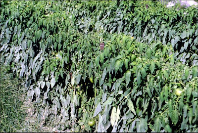 Grey mould on the leaves of a field grown tomato crop
