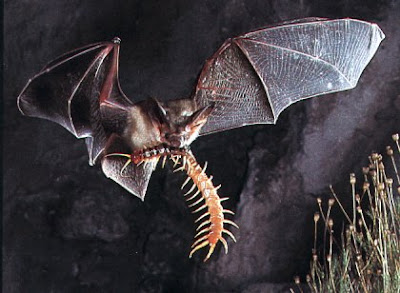 bat in flight with centipede in mouth