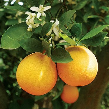 Close up of orange fruits on a tree