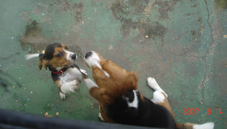 mi beagle