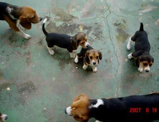 beagle costa rica