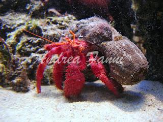 Calliactis parasitica su Dardanus arrosor