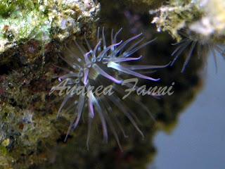 anemone mediterraneo
