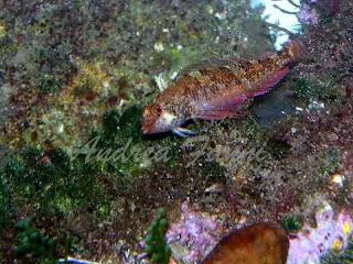 Trypterigion trypteronotus