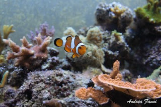 amphiprion ocellaris - pesce pagliaccio