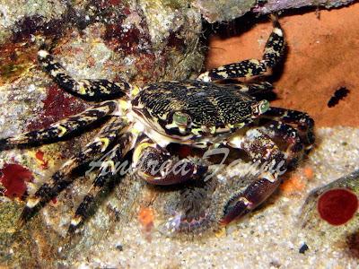 Pachygrapsus marmoratus (granchio corridore)